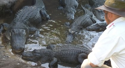 Gatorland_orlando_attractions_american_vacation_living-420x230
